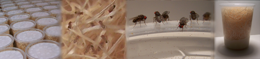 Fruit Fly Cultures at Fruit Flies Direct